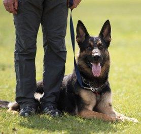 Selection and Training a Dog for Schutzhund